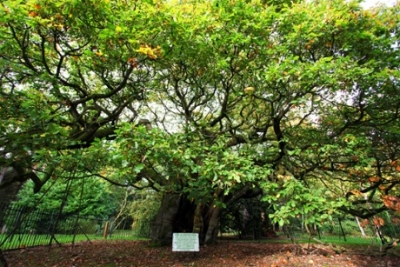 Allerton oak in Calderstones Park, Liverpool Photograph: Anita Smith/Woodland Trust