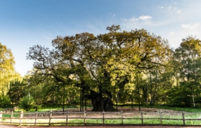 Major Oak, Nottinghamshire Photograph: Nottinghamshire County Council