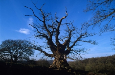 Whiteleaved Oak, Herefordshire Photograph: Woodland Trust
